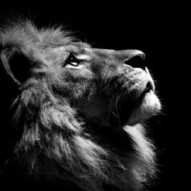 1246-black-lion